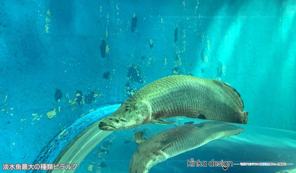 淡水魚最大の種類ピラルク